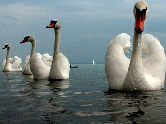 «Лебединый флот».